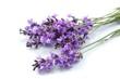 Lavender, Provence-Alpes-Cote d'Azur, Single Flower.