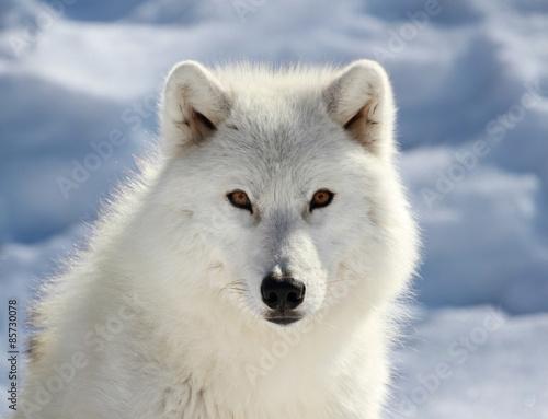 Papiers peints Loup portrait du loup arctique
