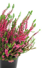 Potted Pink Erica Plant On White Isolated Background