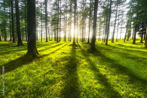 fototapeta na lodówkę słoneczny las