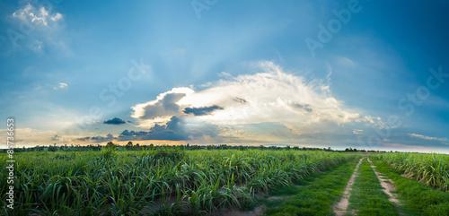 Canvas Prints Culture sugarcane field, panorama landscape