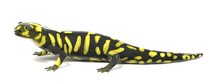 3d Render Of Tiger Salamander