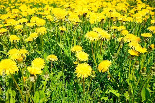 Dandelion grass on spring time in Europe