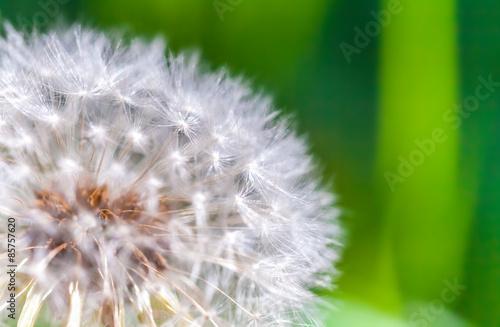Staande foto Paardebloemen en water Dandelion flower with fluff, macro photo