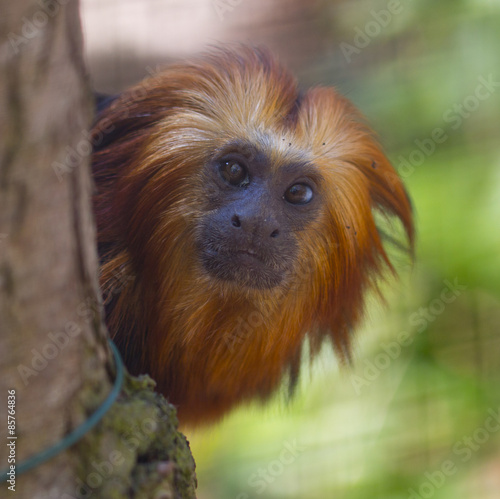 Fotobehang Leeuw Gold Headed Lion Tamarin