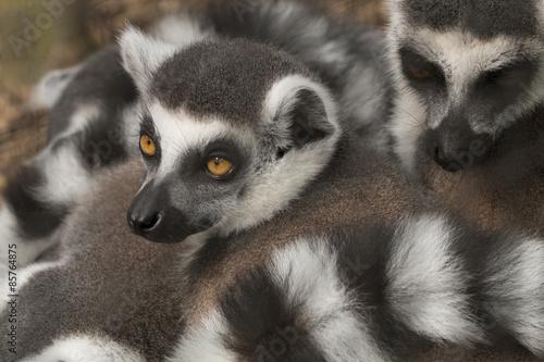 Fotografering  Lemur