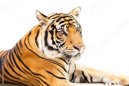 Fototapety, obrazy: Siberian tiger isolated