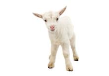 Little White Goat