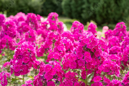 Poster Rose Pink phlox flowers in the garden