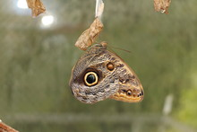Forest Giant Owl Butterfly (or Owl Butterfly) In Innsbruck, Austria. Its Scientific Name Is Caligo Eurilochus, Native To Suriname, Guyana, Brazil And Amazon River Basin.