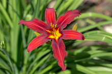 Fire Lily (Lilium Bulbiferum) ...