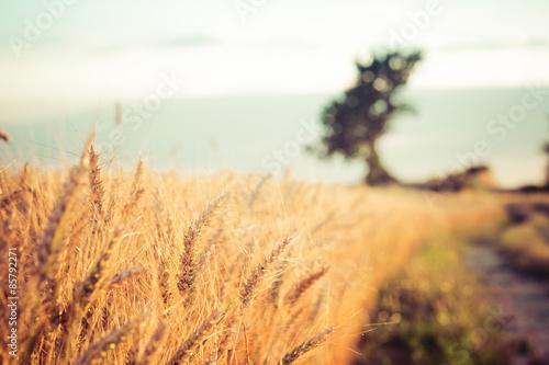 obraz dibond Paesaggio di Campi di Campagna e grano al tramonto