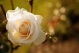 Dostojna biała róża