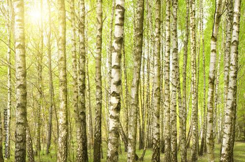 Cadres-photo bureau Bosquet de bouleaux Birch wood in the spring