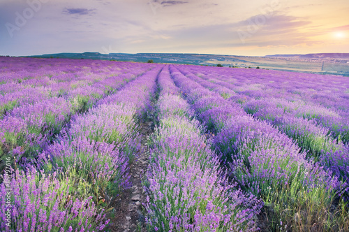 Fototapeta Meadow of lavender on sunset. obraz na płótnie