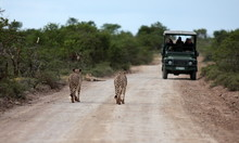 Three Cheetah On A Game Reserve Walk Towards The Tourists In The Game Viewing Vehicle.