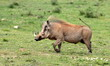A big male warthog / wild pig running with his tail up in this photo from South Africa
