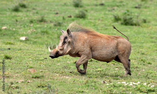 Photo  A big male warthog / wild pig running with his tail up in this photo from South
