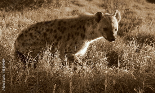In de dag Hyena A spotted hyena from safari in South Africa
