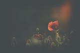 Poppy in sunset - 85809456