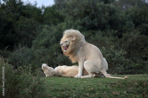 Photo  Two white lions mating in this amazing image.