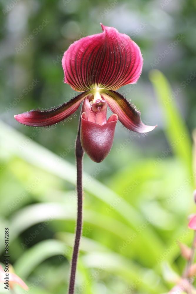 Obraz Storczyki - storczyk (Orchis - Orchidaceae) – byliny fototapeta, plakat