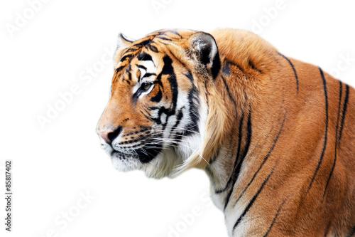 In de dag Tijger Tiger