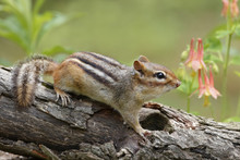 Eastern Chipmunk On A Forest L...