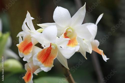 Fototapeta Storczyki - storczyk (Orchis - Orchidaceae) – byliny obraz