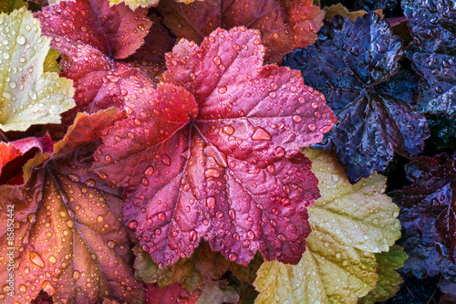 Photo Stands Crimson Wet Heuchera Leaves