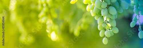 Photo sur Aluminium Vignoble Green grapes macro photo, nice blurred background effect.