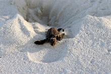 New Hatched Sea Turtle Crawling Out Of The Nest Over Sandy Beach At Herron Island National Park Queensland Australia