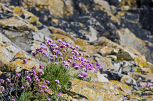 Purple Saxifrage, One Of The First Spring Flowers, Growing At Calcareous Rocks At Welsh Coast.