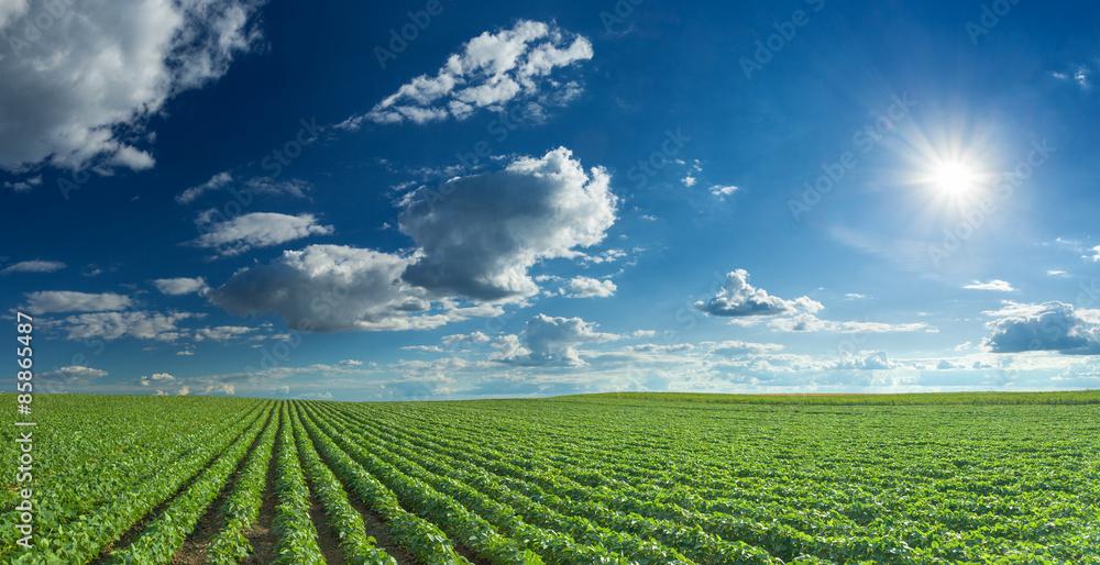 Fototapety, obrazy: Soybean fields rows in summer season