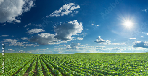 Deurstickers Cultuur Soybean fields rows in summer season