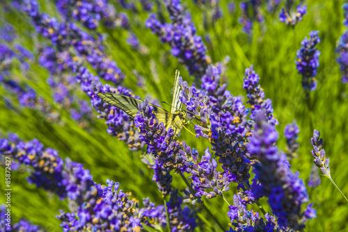 Foto op Plexiglas Lavendel lavande avec papillon