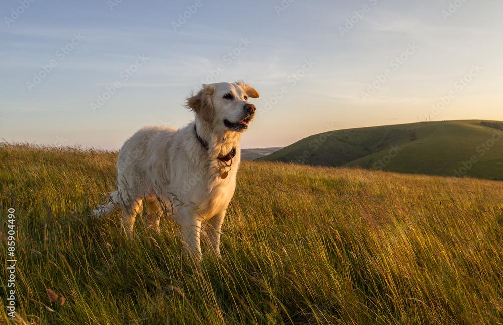 Fotografie, Obraz dog happy in field at sunset