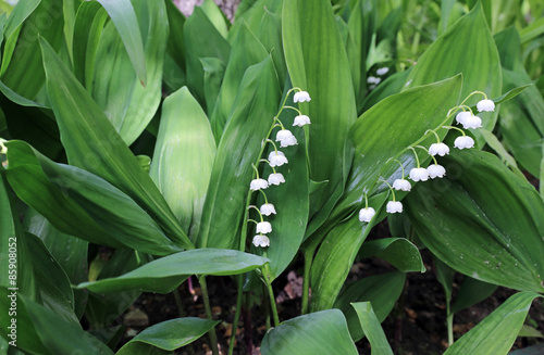 Poster Muguet de mai Forest lily of the valley flowers