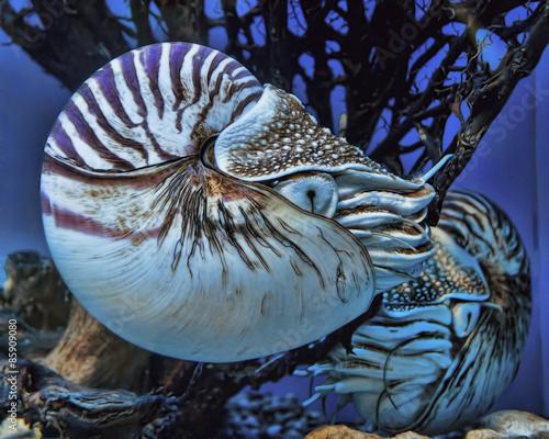 Valokuva  Live nautilus swimming in aquarium