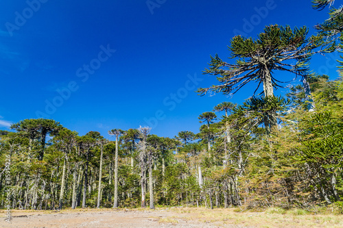 Photo Araucaria forest in National Park Herquehue