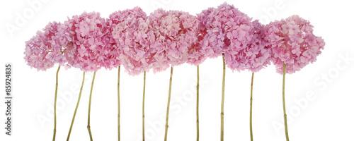 Foto op Plexiglas Hydrangea Pink flowers hydrangea (Clipping path)