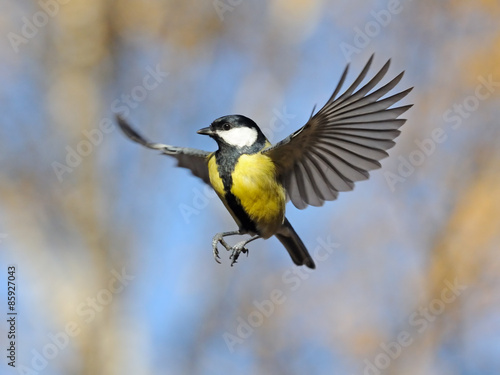 Funny flying Great Tit Poster