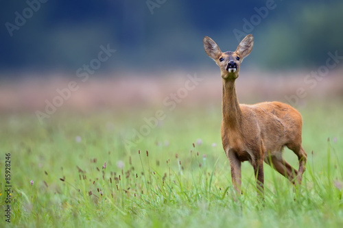 Foto auf AluDibond Reh Roe-deer in the wild in a clearing