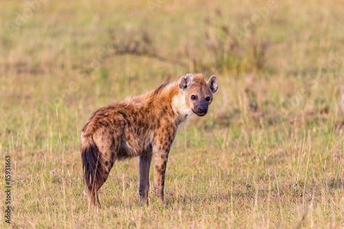 Poster Hyène Hyens on the savanna
