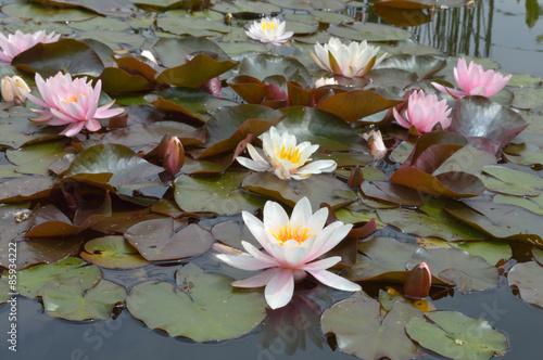 Deurstickers Waterlelies Lotusblossoms