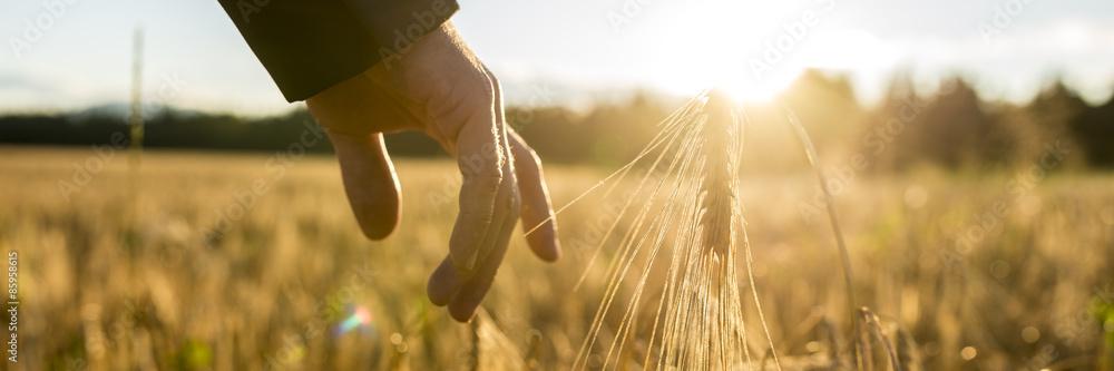 Fototapety, obrazy: Man touching an ear of wheat at sunrise