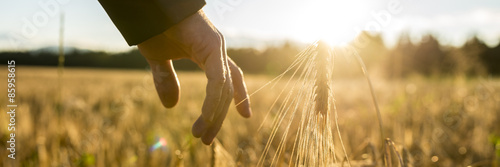 Man touching an ear of wheat at sunrise