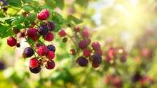 Blackberries Bush, Homegrown P...
