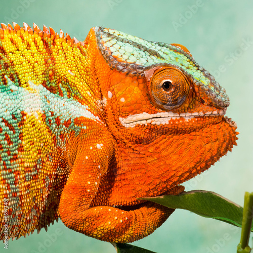 Staande foto Kameleon chameleons