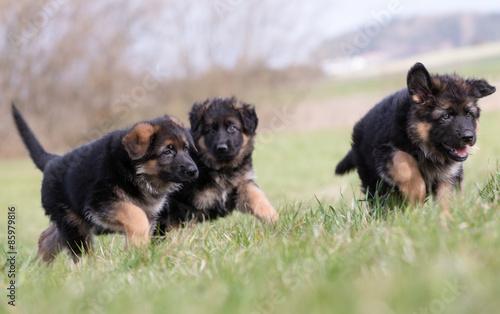Poster Chien Three German Shepherd Puppies playing